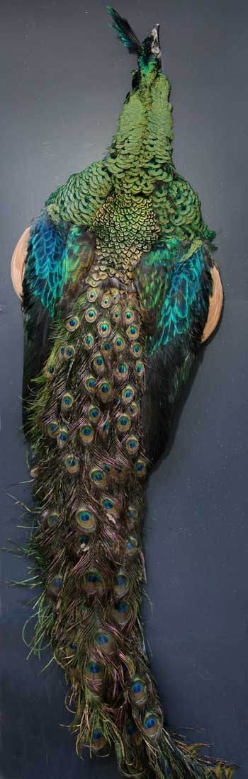 Java Green Peacock Feathers   Classic Salmon Fly Tying