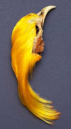 Golden Pheasant Feathers | Atlantic Salmon Fly Tying